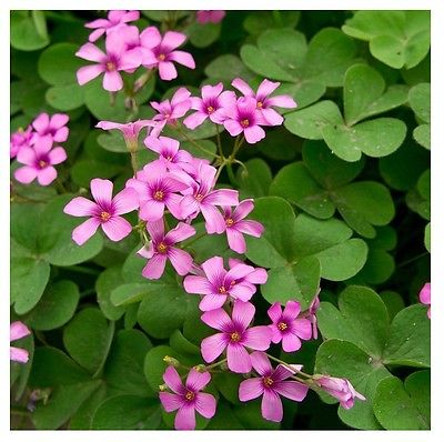 MOTHERS DAY SPECIAL****25 OXALIS BULBS (SHAMROCKS) ONLY $16.99