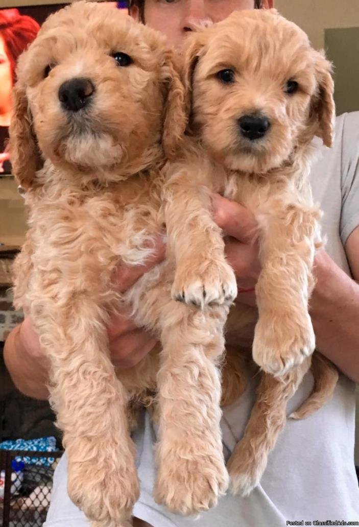 Beautiful F1b Goldendoodle Puppies