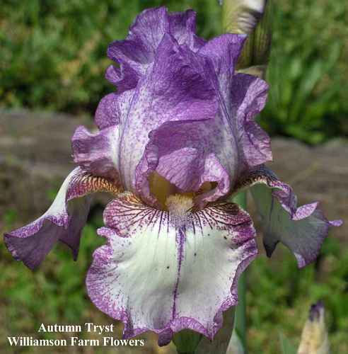 Autumn Tryst - Tall Bearded Iris - WEILER 1993