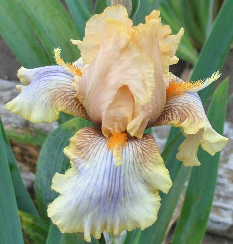 Artistic Touch - Tall Bearded Iris - JEDLICKA 2008