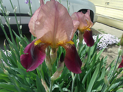 BURGUNDY INDIAN CHIEF IRIS rhizomes bulbs. Perennial. 27-30 in Freshly dag.