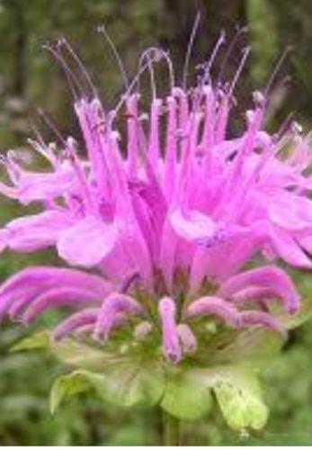 Living Plants 3 Bee Balm Bare Root Perennials Sun Loving Flowers Hummingbirds
