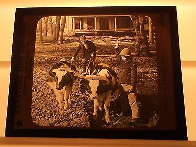 Vintage Magic Lantern Glass Slide - Cows Steers Hitched to Plow - Boys Kids
