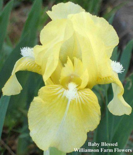 Baby Blessed - Standard Dwarf Bearded Iris - ZURBRIGG 1979