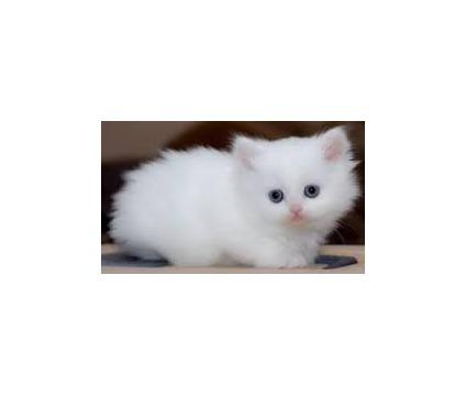 Jhbhvjb Pure breed persian kitten ready