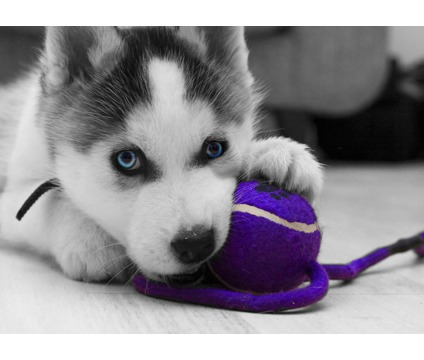 iiriririr Cute Siberian husky puppies for sell
