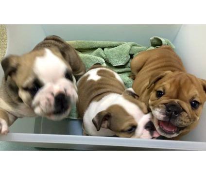 kjkfj English Bulldog Pups Available