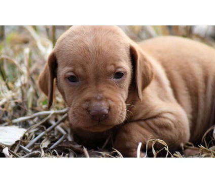 Charming Vizsla Puppies for new homes
