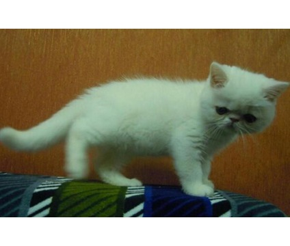 dfay Exotic shorthair kittens # (832) x 589 x 0344