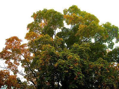 maple, TALL MAPLE SHADE TREE, 15 SEEDS! GroCo,,