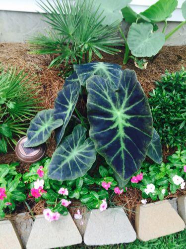 ELEPHANT EAR - COLOCASIA antiquorum 'Black Beauty' Live Plant Unique tropical