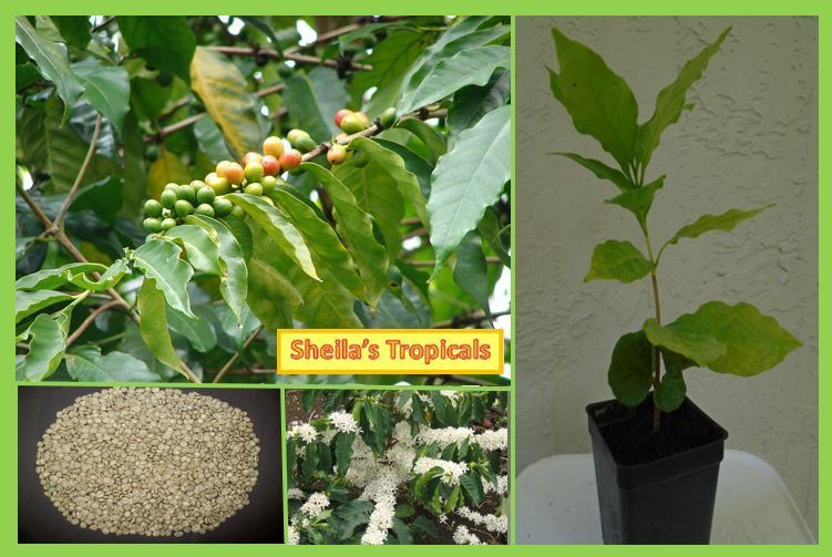 Coffee Arabica Plant - Grow your own coffee - LIVE PLANT not beans