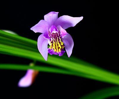 Bletilla yokohoma 'Kate' COLD HARDY orchid species