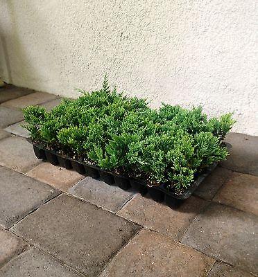 Blue Rug Juniper Qty 120 Live Plants Groundcover