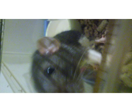 Fancy Rat - Domestic Rat