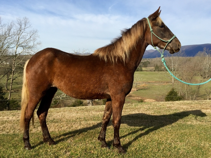 Gorgeous 3 year old Rocky Mountain filly