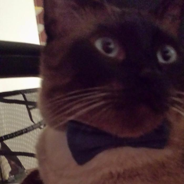 Missing!! Siamese Colored 4 Year Old Male Cat