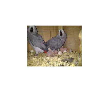reshghgyytyu African Grey Parrots for sale