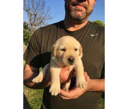 Akc Labrador pups