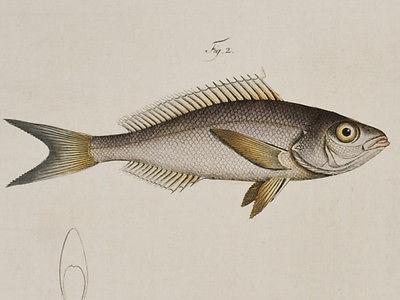 Bloch - Silver & Starry Bodian. 231 - 1785 Ichthyologie FOLIO Fish Engraving