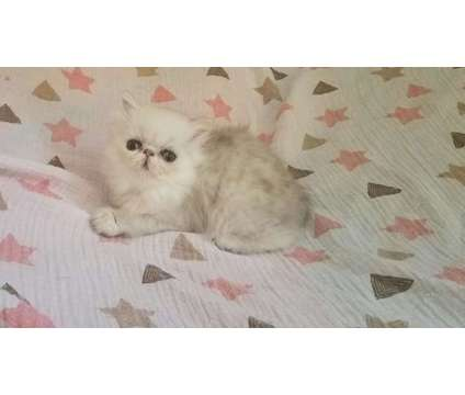 CFA Chinchilla Silver Persian Female Kitten