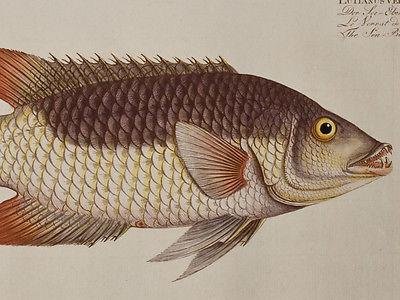Bloch - Sea-Boar. 255 - 1785 Ichthyologie FOLIO Fish Engraving