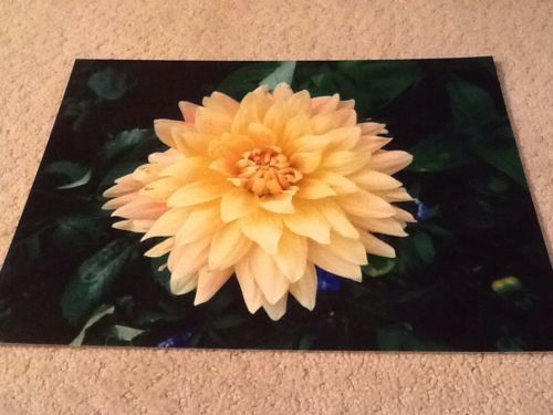 Dahlia Photograph    11 X 14 Inches