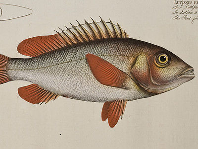 Bloch - Red-Fin. 249 - 1785 Ichthyologie FOLIO Fish Engraving