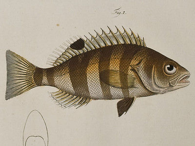 Bloch - Silver & Streaked Holocentre 235- 1785 Ichthyologie FOLIO Fish Engraving