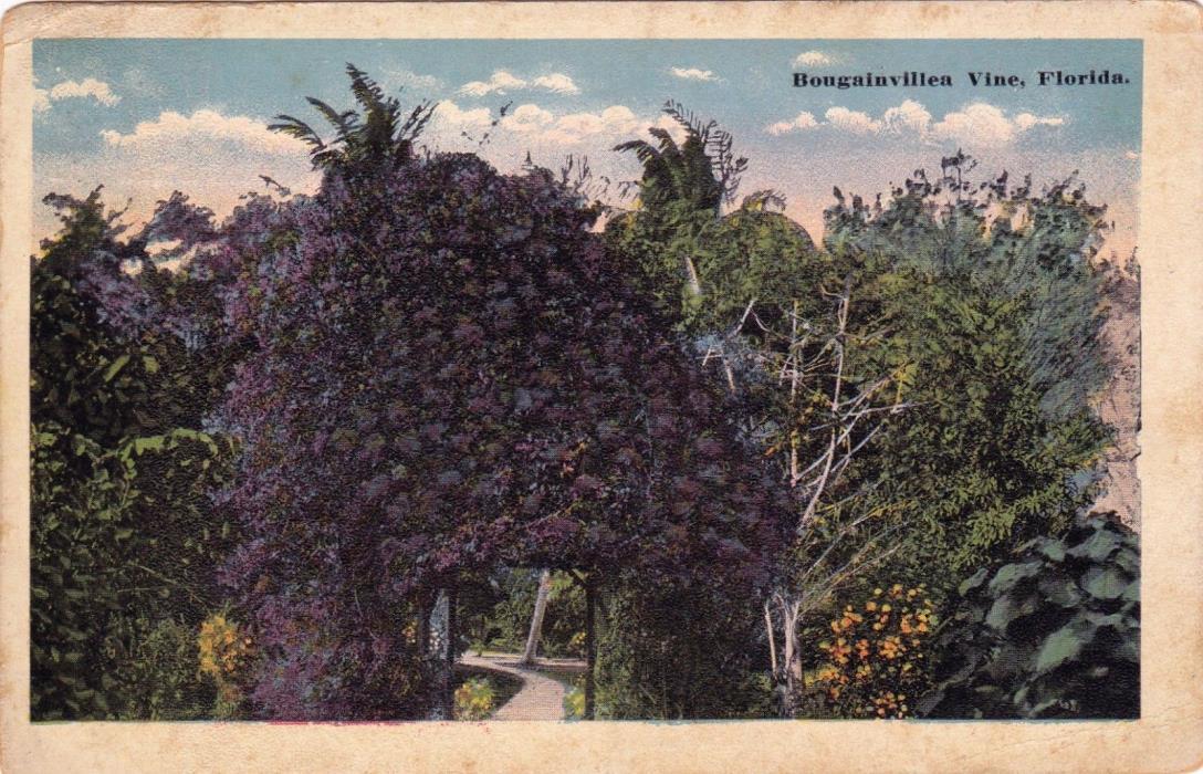 POSTCARD - Bougainvillea Vine, Florida.