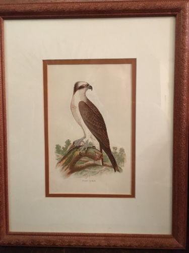Vintage, Professionally Framed Lithograph Print Osprey, Fish Hawk C.1894