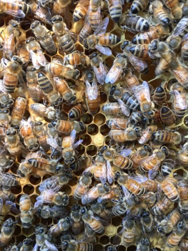 Italian bee hive with queen