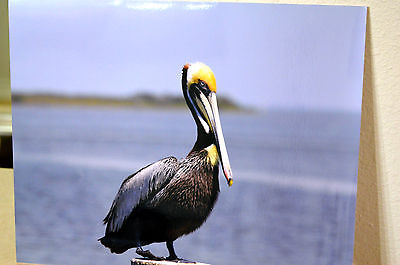 8x10 Rich Metallic Photograph Of A Brown Pelican Bird, Photographic Print
