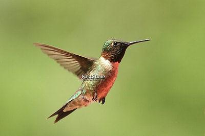 Hummingbird, photo, photos, print, bird, birds, 8x10