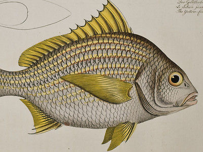 Bloch - Yellow Fin. 247 - 1785 Ichthyologie FOLIO Fish Engraving