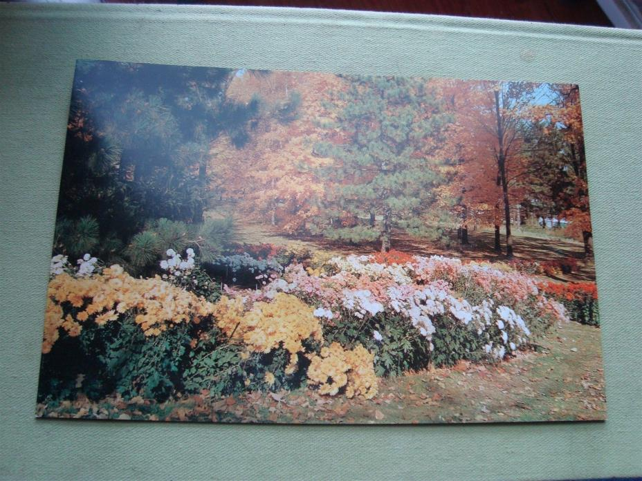 VINTAGE RP CHRYSANTHEMUMS - KINGWOOD CENTER OH. JUMBO POSTCARD