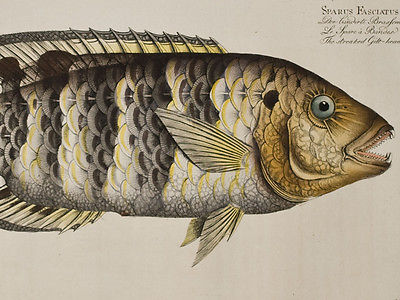 Bloch - Streaked Gilt-Head. 257 - 1785 Ichthyologie FOLIO Fish Engraving