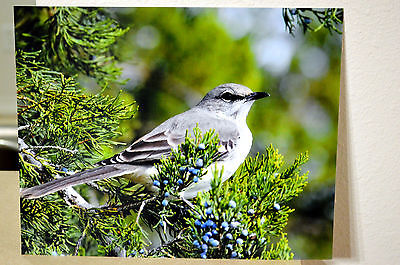 8x10 Rich Metallic Printed Photo Of An Amazing Mockingbird Perched In Tree