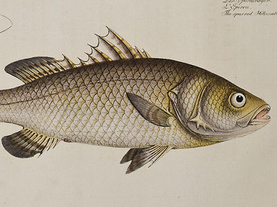 Bloch - Spurred Holocentre. 244 - 1785 Ichthyologie FOLIO Fish Engraving