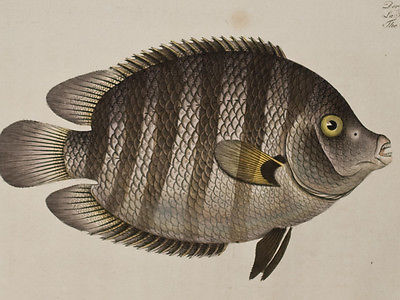 Bloch - Suratian Chetodon. 217 - 1785 Ichthyologie FOLIO Fish Engraving