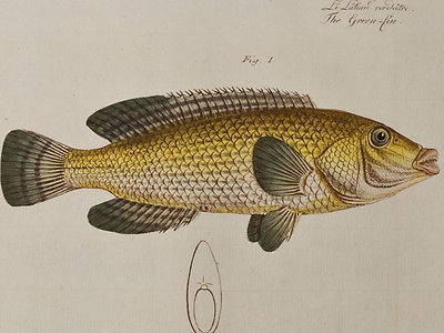 Bloch - Snouted Lutian & Green-Fin. 254 - 1785 Ichthyologie FOLIO Fish Engraving