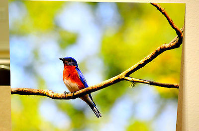 8x10 Eastern Bluebird Rich Metallic Photographic Print, Bird Photo photograph