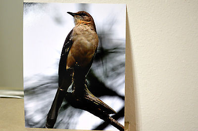 8x10 Mockingbird Rich Metallic Printed Photograph, Picture Wildlife Bird