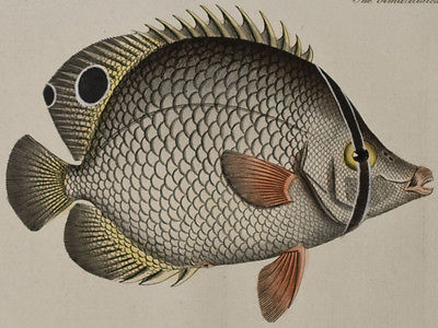 Bloch - Two Spined & Bimaculated Chetodon. 219 - 1785 Ichthyologie FOLIO Fish