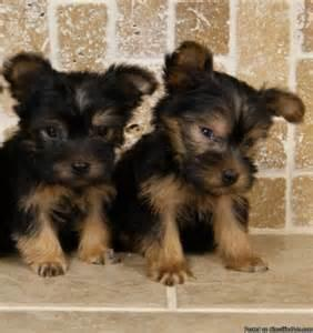 Rehoming My 13weeks old Yorkie male/female pups