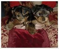 Nice and incredible Teacup Yorkie Puppies.