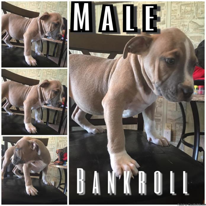 Bully puppies for sale