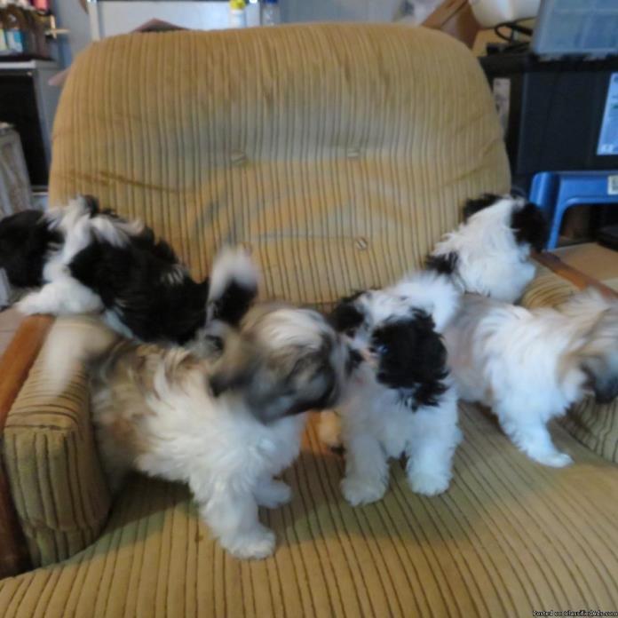 Pretty Shih Tuz Pups
