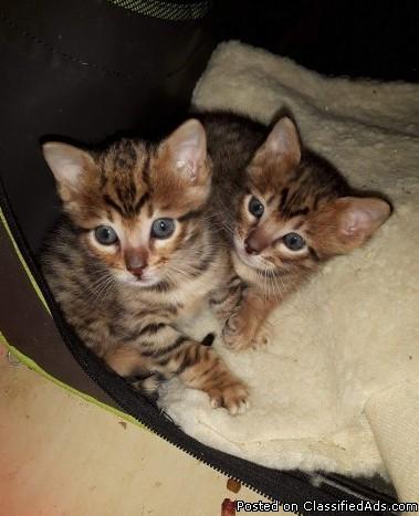 kjk Bengal Kitten Babies ready to go