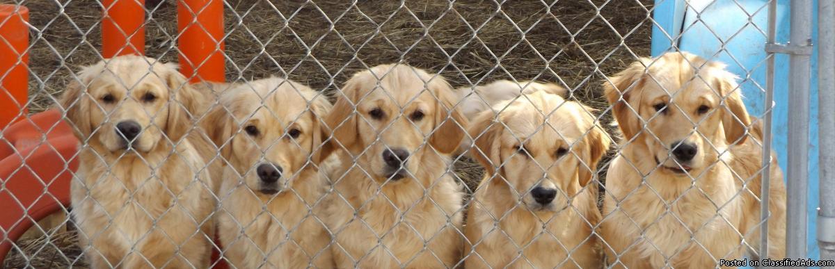 Wellbred Golden Retriever Pups in Minnesota
